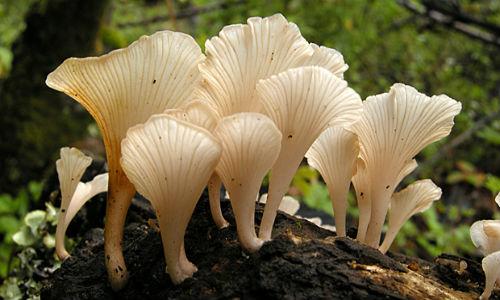 li-trogia_venenata_mushroom-620